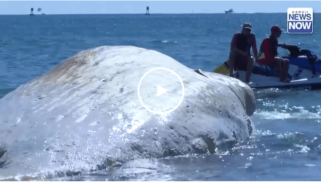 whale-carcass-off-oahu