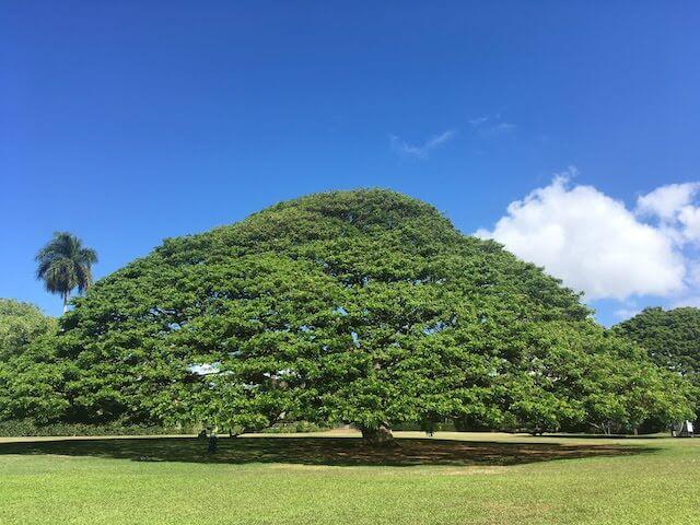 「日立の樹」モアナルア・ガーデン