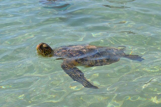 Meeres Schildkroete Hawaii