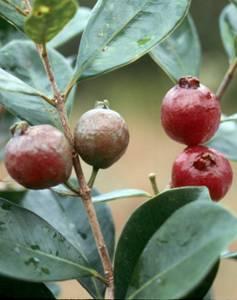 strawberryguava-redfruit