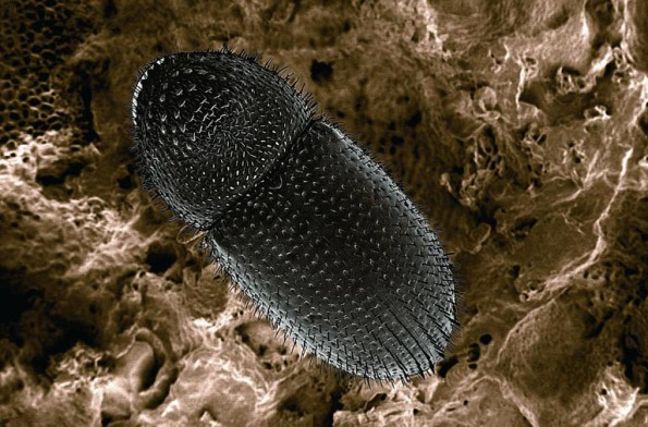 canning electron micrograph of a coffee berry borer. Image by Eric Erbe, USDA Agricultural Research Service, Bugwood.org