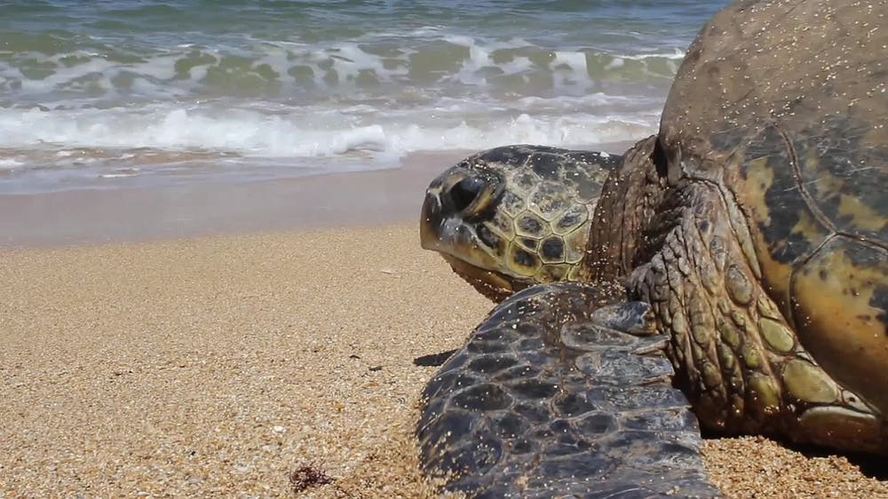 Looking for Sea Turtles in Maui? Here's How to Find Them