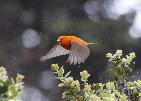 akepa bird