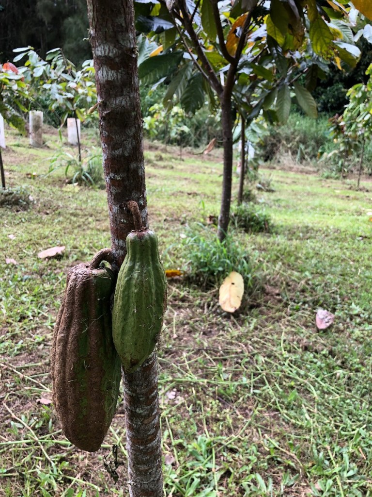 young green cacao pods on tree