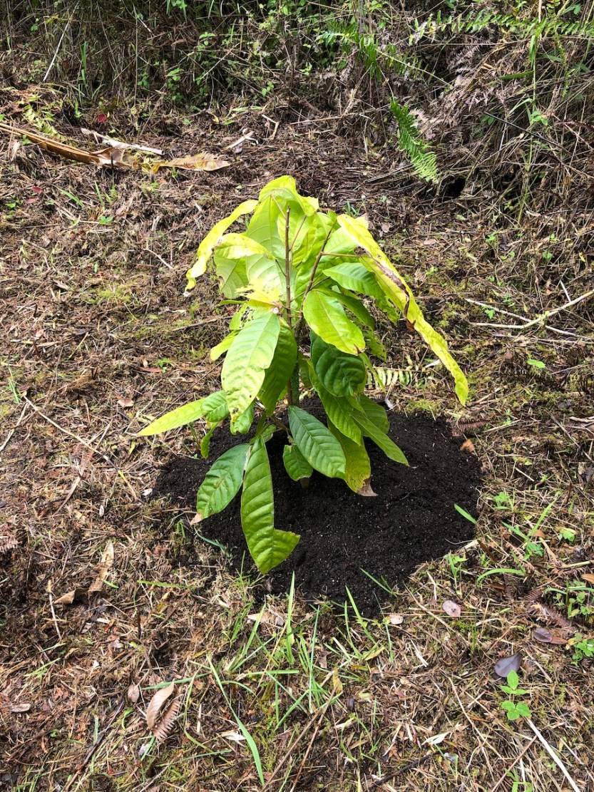 young cacao tree in ground