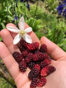 mulberries, orange blossom, hand
