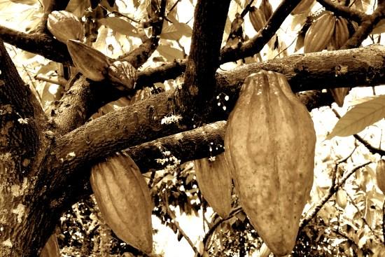 Hamakua Chocolate Farm, cacao, header images, sepia