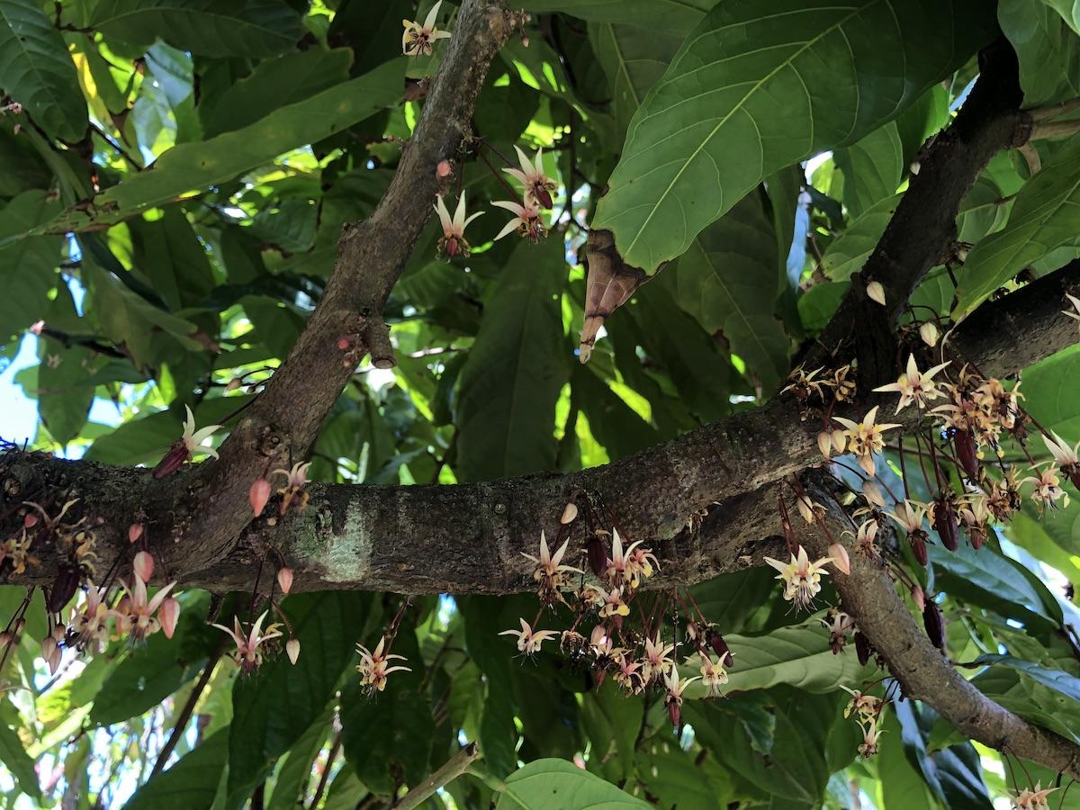 Hamakua Chocolate Farm, cacao flowers