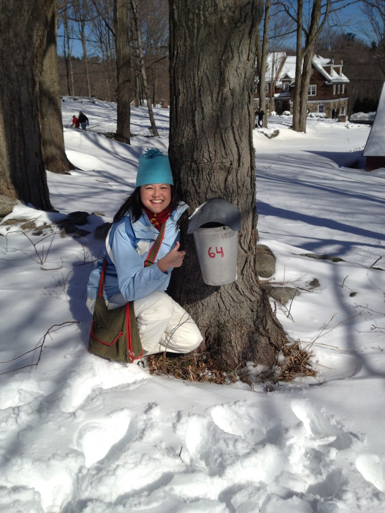 Sap Collecting from a Maple Tree at Ambler Farm