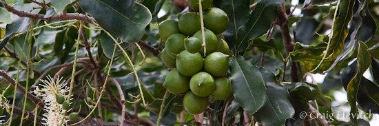 Nearly mature macadamia nuts on the tree.