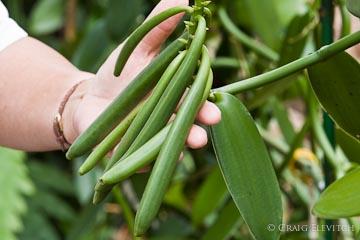 Vanilla beans maturing on the vine at Krimm Farm, South Kona.