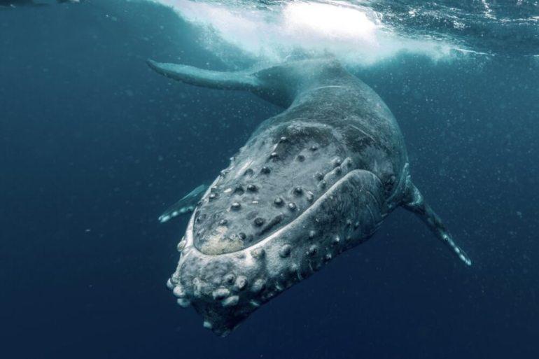 Guide to Whale Watching on Maui featured by top Hawaii blog, Hawaii Travel with Kids: Humpback Whale, Maui, Hawaii