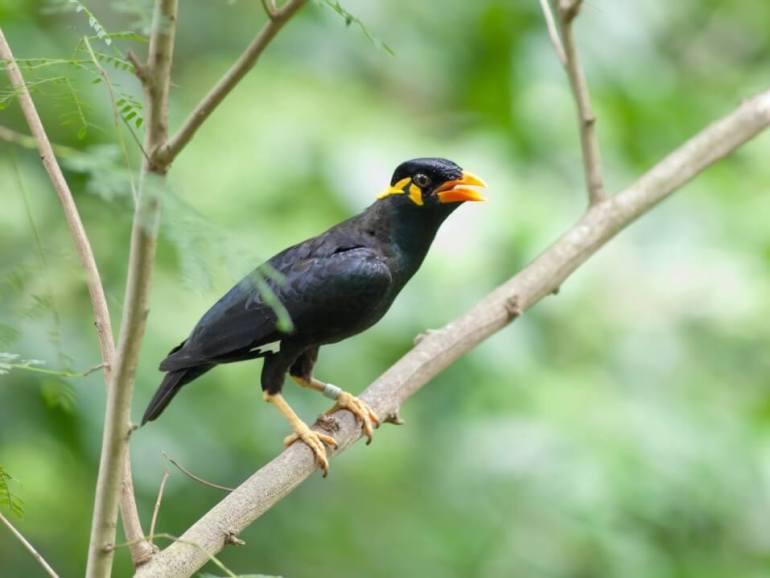 See Myna Birds like this one when birdwatching on Kauai