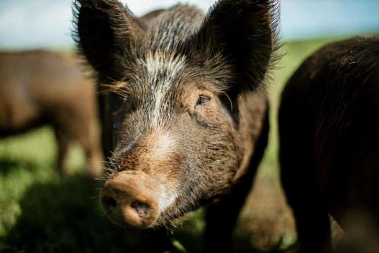 The Best Things to Do in Hilo Hawaii featured by top Hawaii blog, Hawaii Travel with Kids: Wild Boar