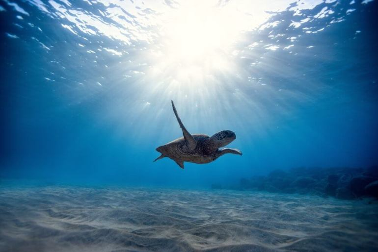 Look for Hawaiian Green Sea Turtles in Maui. Image of a Hawaiian Green Sea Turtle swimming in the water.