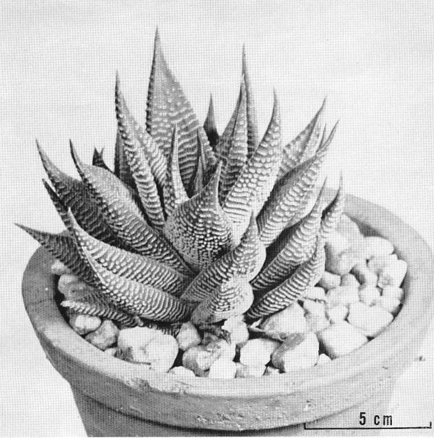 Fig. 1. H. limifolia.  Mozaan River form, ex Bruyns-Haylett.