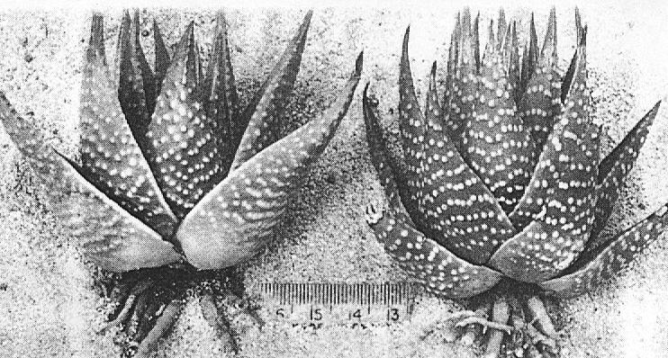 Fig. 4.  H. kingiana vPoelln., Great Brak.
