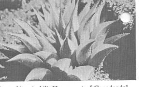 Fig. 5. H. mirabilis, W Genadendal.