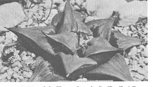 Fig. 8. H. mirabilis subsp. badia, t.loc.