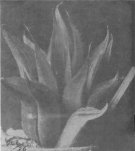 Fig. 1. Haworthia mirabilis Haw. illustrated as H. nitidula v Poelln. in Desert Plant Life 11:192 (1939).
