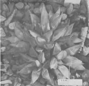 "Fig. 9. Haworthia turgida Haw., GGS 3429, ""H. nitidula var. D., Heidelberg, Malherbe 24. = 5044 but tip area shorter, lighter, pellucid, shorter end- awn, 3—5 face lines, more upright than nitidula""."