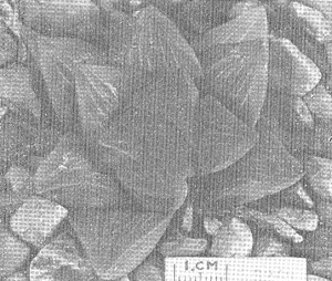 """Fig. 3. GGS 3249 Haworthia mutica Haw. from Stormsvei – """"H. retusa var. K. Smith"""". (Smith wrote that the locality was probably wrong and that the plant was probably ex Riviersonderend)"""