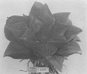 Fig. 6. GGS 5377a Haworhia retusa (L.) Duv. (the same locality as the preceding.)