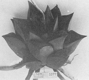 """Fig. 7. GGS 5377b Haworthia retusa (L.) Duv. from E. Riversdale –""""H. retusa var."""" (also from the same locality but this clone does resemble """"foucheii"""" which came from a several hundred 100m eastwards.)"""