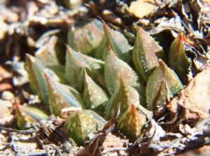 Fig. 11. MBB7526.4 H. maculata. Die Nekkies.