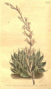 H. arachnoidea - 1844
