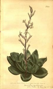H. cymbiformis - Curtis's Botanical Magazine, vol. 21 t. 802 (1805) [S.T. Edwards]8067