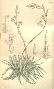H. xiphiophylla - 5005