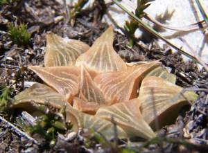 10. MBB6747.8 H. magnifica var acuminata. Vleesbaai.