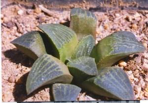 11. JDV97-135.2 H. pygmaea. Herbertsdale.