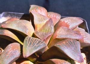 11. JDV97-135.5 H. pygmaea. Herbertsdale