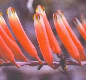Fig. 1 Astroloba (sic. - Poellnitzia) rubriflora.
