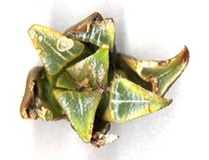 Fig. 11a. MBB7503.1 H. mirabilis. Die Kop Mid.