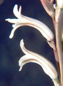 Fig. 3. Flowers of sg Haworthia.