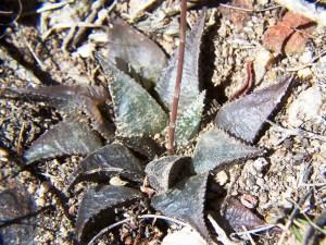 Fig. 4 7612.4 H. mirabilis. Diamant W.