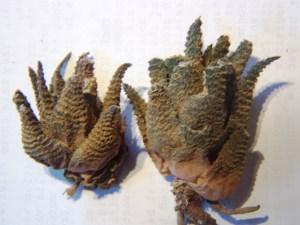 Fig. 5. MBB7640 H. venosa subsp. granulata 'Schoemanii' aff. Oskopvlakte.