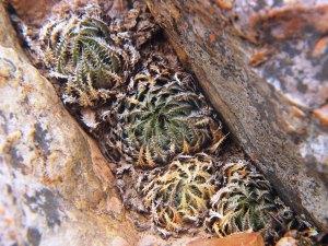 10.10 7995 H. herbacea, S Brandvlei Brickfield