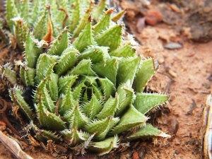 10.2 7995 H. herbacea, S Brandvlei Brickfield
