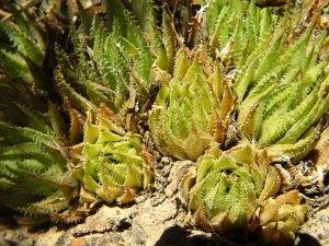 10.22 7996 H. herbacea, E Brandvlei Brickfield
