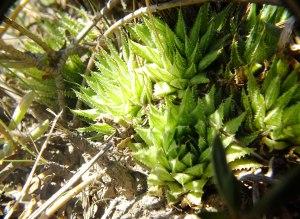 10.23 7996 H. herbacea, E Brandvlei Brickfield