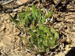 10.28 7996 H. herbacea, E Brandvlei Brickfield