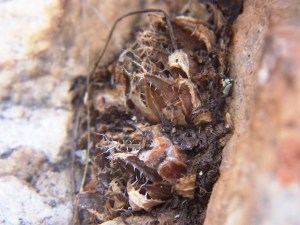 12.4 7865 H. cf. arachnoidea.  Keurkloof, SE Dedooorns 004