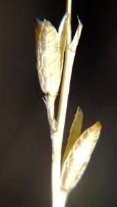 5.24 7991a H. maculata, Ouhoekberg E