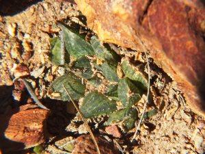 8.2 7992 H. maculata, Hammansberg