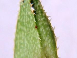 9.27 7996 H. pubescens, E Brickfield