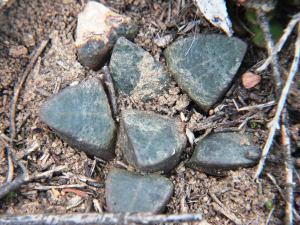Fig. 147 7888 H. mutica.
